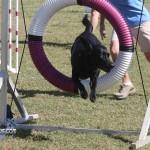 bermuda dog show oct 23 (2)