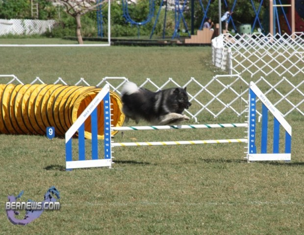 bermuda dog show oct 23 (21)