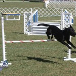 bermuda dog show oct 23 (4)