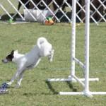 bermuda dog show oct 23 (6)