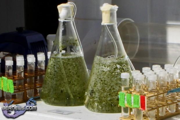 sargasso sea algae bios 2010
