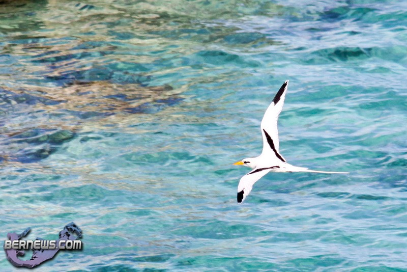 Longtail Bird Bermuda 2010
