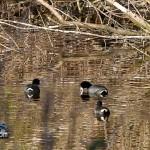 Wetlands Bermuda Feb 1st 2011-1-12
