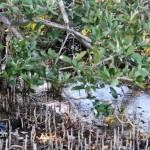 Wetlands Bermuda Feb 1st 2011-1-16