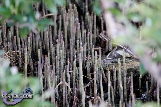 Wetlands Bermuda Feb 1st 2011-1-17
