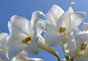 bermuda easter lilies stock
