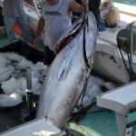920lb tuna feb 1 2012 (14)