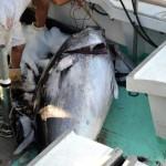 920lb tuna feb 1 2012 (15)
