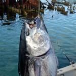 920lb tuna feb 1 2012 (3)