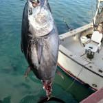 920lb tuna feb 1 2012 (4)