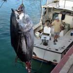 920lb tuna feb 1 2012 (6)