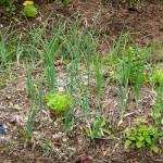Sunshine League's Catlin Community Garden Opened Bermuda June 7 2012-024