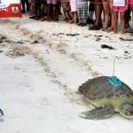 Fripper Turtle Release Clearwater Beach Bermuda August 14 2012 (21)
