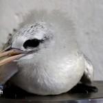 Bermuda Longtail Rehabilitation Release BAMZ, September 21 2012 (7)