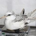 Bermuda Longtail Rehabilitation Release BAMZ, September 21 2012 (8)