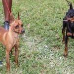 Bermuda Kennel Club Dog Show, October 20 2012-1-11