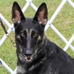 Bermuda Kennel Club Dog Show, October 20 2012-1-22