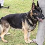 Bermuda Kennel Club Dog Show, October 20 2012-1-23