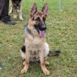 Bermuda Kennel Club Dog Show, October 20 2012-1-24