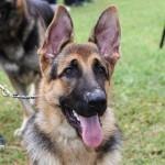Bermuda Kennel Club Dog Show, October 20 2012-1-25