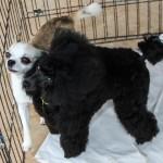 Bermuda Kennel Club Dog Show, October 20 2012-1-35