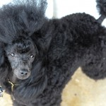 Bermuda Kennel Club Dog Show, October 20 2012-1-38