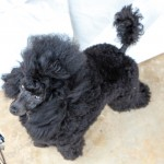 Bermuda Kennel Club Dog Show, October 20 2012-1-39