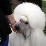 Bermuda Kennel Club Dog Show, October 20 2012 (17)