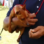 Bermuda Kennel Club Dog Show, October 20 2012 (24)