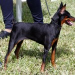 Bermuda Kennel Club Dog Show, October 20 2012 (4)
