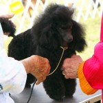 Bermuda Kennel Club Dog Show, October 20 2012 (48)