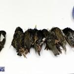 Poisoned Birds Bermuda, February 18 2013 (1)