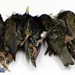 Poisoned Birds Bermuda, February 18 2013