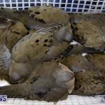 Poisoned Birds Bermuda, February 18 2013 (2)