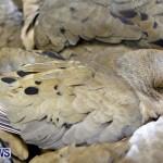 Poisoned Birds Bermuda, February 18 2013 (3)