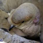 Poisoned Birds Bermuda, February 18 2013 (5)