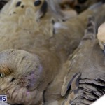 Poisoned Birds Bermuda, February 18 2013 (6)