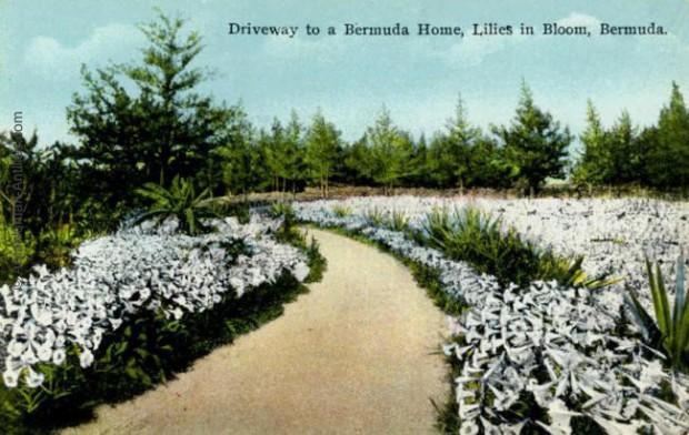 bermudes-lis-en-fleur