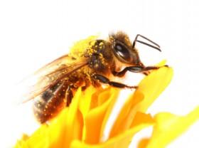 Honeybee and yellow marigold