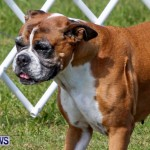 Bermuda Kennel Club BKC Dog Show, October 19, 2013-17