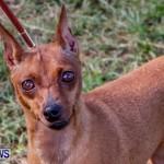 Bermuda Kennel Club BKC Dog Show, October 19, 2013-56