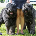 Bermuda Kennel Club BKC Dog Show, October 19, 2013-79