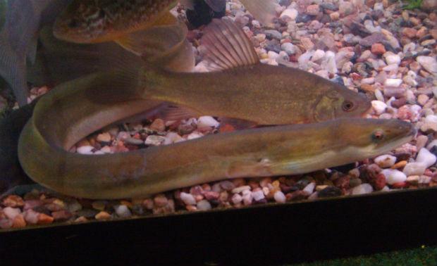 European_eel_in_aquarium