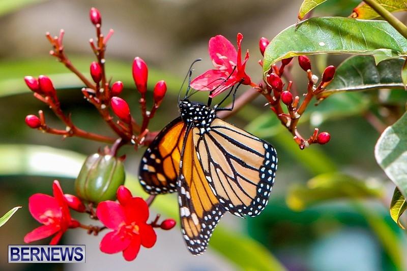 Butterfly-House-Brighton-Hill-Nursery-Bermuda-April-5-2014-1