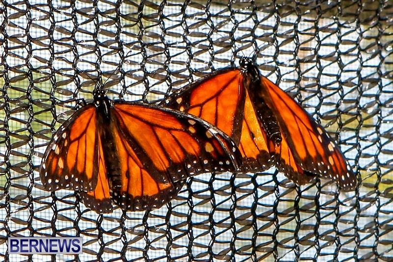 Butterfly-House-Brighton-Hill-Nursery-Bermuda-April-5-2014-14