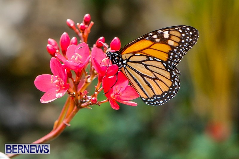 Butterfly-House-Brighton-Hill-Nursery-Bermuda-April-5-2014-15