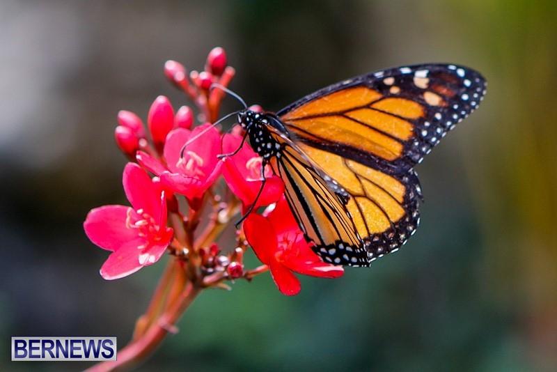 Butterfly-House-Brighton-Hill-Nursery-Bermuda-April-5-2014-16