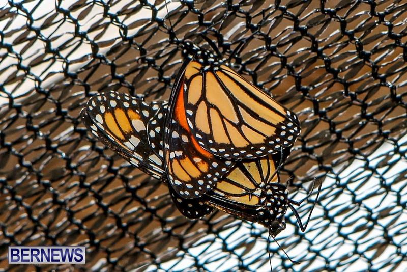 Butterfly-House-Brighton-Hill-Nursery-Bermuda-April-5-2014-17