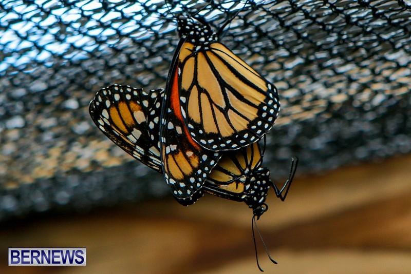 Butterfly-House-Brighton-Hill-Nursery-Bermuda-April-5-2014-18