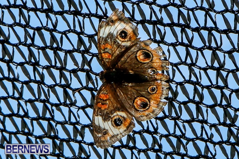 Butterfly-House-Brighton-Hill-Nursery-Bermuda-April-5-2014-19